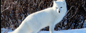 Arctic Foxes for sale