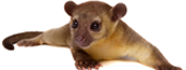 Kinkajous for Sale