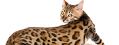 Domestic Bengal Kittens for sale